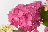 Hydrangea flowers (closeup view) — Stock Photo