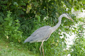 Grey Heron standing in the river bank — Stock Photo