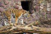 Tiger walking — Stock Photo