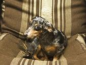黑色腊肠狗 — 图库照片
