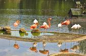 Pink and white flamingo — Stock Photo