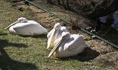 Tres pelícanos — Foto de Stock