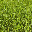 Beauty of simple plants. Grass — Stock Photo #10788862