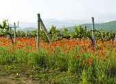 Poppies, vineyards and hills — Foto Stock