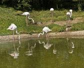 White flamingo — Stock Photo