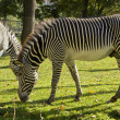 Stock Photo: Zebra walking