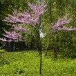 Little pink Japanese cherry tree — Stock Photo