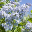 Blue lilas — Stock Photo