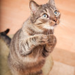 Funny european cat asking for a snack — Stock Photo #12126423