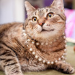 Funny european cat wearing a necklace. — Stock Photo