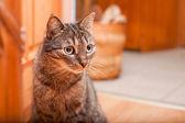 Adorable european cat with big dark eyes. — Stock Photo