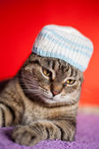 European cat wearing funny hat — Stock Photo