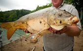 Huge freshwater carp caught on a bite. — Stock Photo
