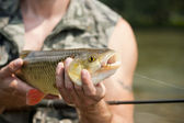 Big freshwater chubb caught on a bait — Stock Photo