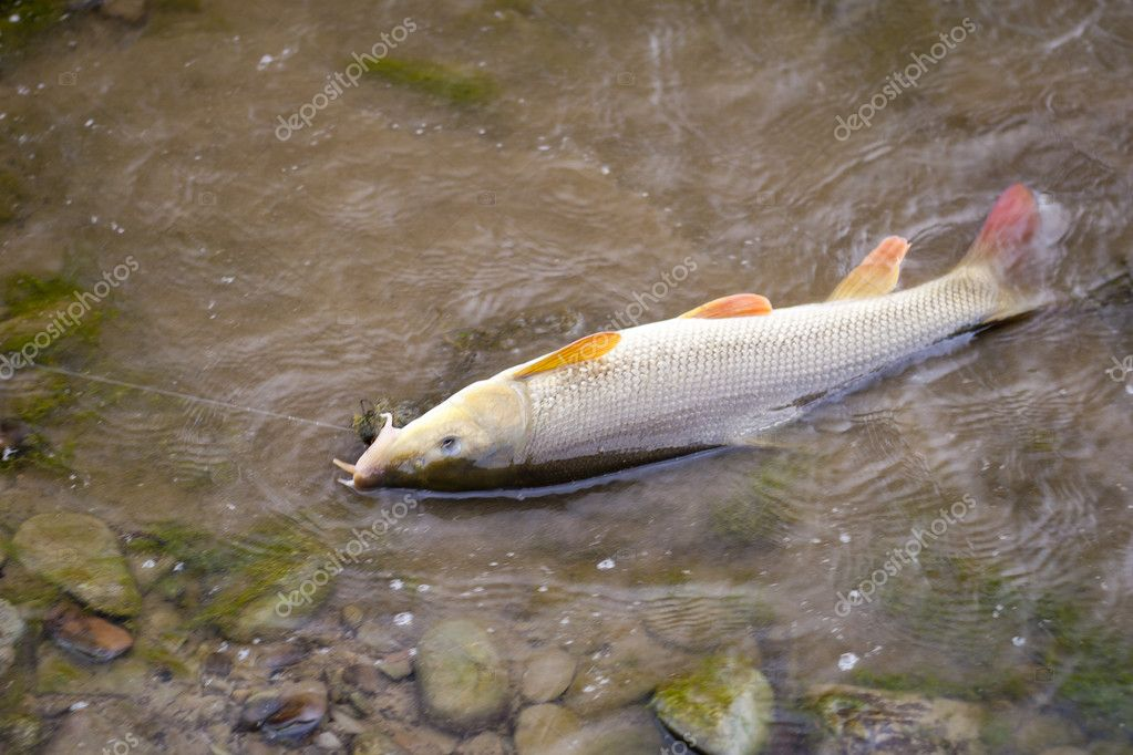 beautiful freshwater barbel caught on a live bait. — stock photo, Fishing Bait