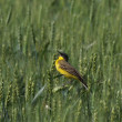 Yellow Wagtail, Motacilla flava - Stock Photo