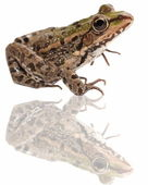Marsh Frog and reflection isolated on white background — Stock Photo