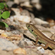 European Green Lizard, juvenile, Lacerta viridis — Stock Photo