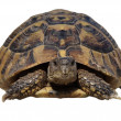 Turtle isolated on white background testudo hermanni — Stock Photo