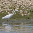 Little Egret, Egretta garzetta - Photo