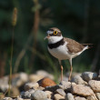 Stock Photo: Little Ringed Plover, Charadrius dubius