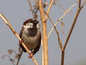 House Sparrow, Passer domesticus — 图库照片
