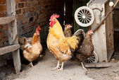 Chicken on a farm — Stock Photo