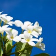 White Frangipani flowers - Stock Photo