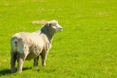 Sheep in a green field — Stockfoto