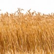Panorama of a wheat crop — Foto de Stock