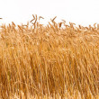 Panorama of a wheat crop — Stock Photo