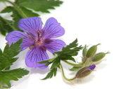 Geraniaceae a macro shot against white background — Stock Photo