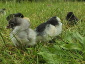 Newborn chicken chick in the green grass — Stock Photo