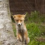Beautiful fox — Stock Photo