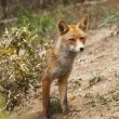 Beautiful fox — Stock Photo #11943231