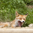 Beautiful fox — Stock Photo