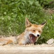 Beautiful fox — Stock Photo #11943394