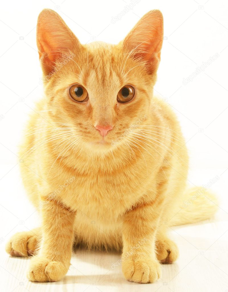 Cat isolated on white  Stock Photo #11926824