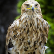 Imperial Eagle Aquila Heliaca - Stock Photo