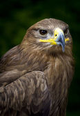 Steppe eagle Aquila nipalensis — Stock Photo