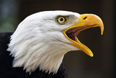Bald eagle haliaeetus leucocephalus — Stock Photo