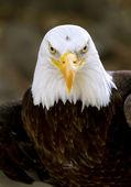 Bald eagle haliaeetus leucocephalus — Stock Photo