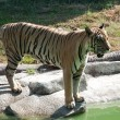 Sumatran Tiger — Stock Photo #11350722
