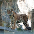 Sumatran Tiger — Stock Photo #11350741