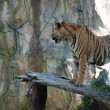 Sumatran Tiger — Stock Photo #11350752