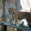 Sumatran Tiger — Stock Photo #11350771