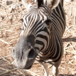 Common Zebra (Burchell's Zebra) - Equus burchellii — Stock Photo