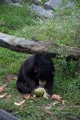 Malayan Sun Bear - Helarctos malayanus — Stock Photo