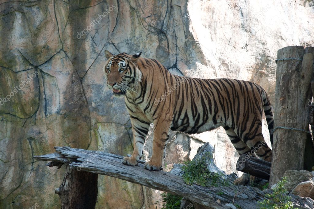Sumatran Tiger  Stock Photo #11350771