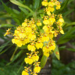 Yellow Oncidium orchid flower - Oncidium flexuosum Sims - Stock Photo